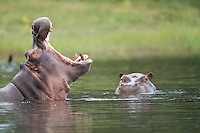 African hippopotamus wallowing in the water, Botswana, Africa