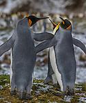 Three king penguins, South Georgia Island