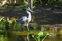 Great Blue Heron, Ardea herodias, at Fakahatchee Strand in the Everglades, Florida, USA