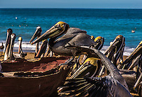 Fine Art Photograph of a flock of Pelicans circled around an old fishing boat along the pacific ocean in Mexico.