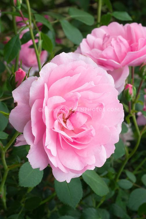 Rosa Bonica shrub rose