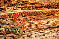 164150008 a wild zion paintbrush castilleja scabrida with red blooming flowers on a sandstone outcrop in zion national park utah