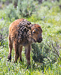 A newly born bison calf stands in a field in Yellowstone.