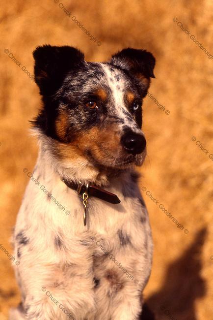 Queensland Heeler Australian Shepherd Mix