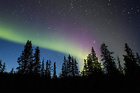 The northern lights display above silhouetted spruce trees in Denali National Park, Alaska.