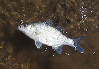 NWA Democrat-Gazette/FLIP PUTTHOFF <br /> White bass are the prize when they make their spawning run up the tributaries of Beaver and Table Rock lakes.