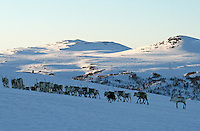 A dog helping mowing the reindeers. Reindeer herding in Mid-Norway. I bakgrunnen Sankåkleppen og Gardkleppen.
