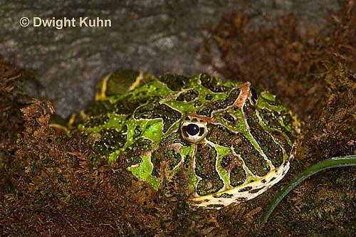 FR24-522z  Ornate Horned Frog, Ceratophrys ornata, Brazil