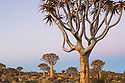 Quiver trees (Aloe dichotoma) at dusk. The branches are being used by bushmen (san) as quivers for their arrows. Quiver trees only occur in southwestern Africa in and along the edges of the Namib Desert.