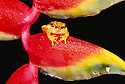 Red-skirted Tree Frog (Dendropsophus rhodopeplus) on Lobster Claw Heliconia. Tambopata River, Amazonia, Peru