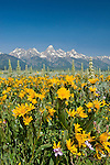 Mule's ears bloom in the sagebrush flats below the Teton Range in Grand Teton National Park, Wyoming.