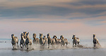 Camargue horses, France