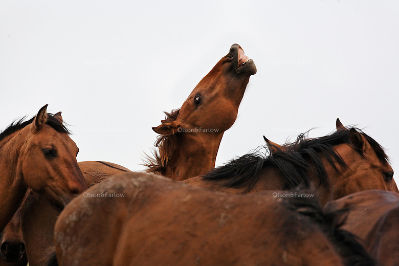 A young stud lifts his lip catching a whiff of a mare in heat in a mustang herd. Spring is foaling season for horses and males compete to breed.<br /> <br /> The wild horse herd is located in Lantry, S.D.