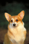 Corgi, pembroke welsh<br /> <br /> <br /> <br /> <br /> <br /> Shopping cart has 3 Tabs:<br /> <br /> 1) Rights-Managed downloads for Commercial Use<br /> <br /> 2) Print sizes from wallet to 20x30<br /> <br /> 3) Merchandise items like T-shirts and refrigerator magnets
