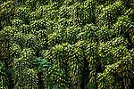 Bunches Of Ornamental Corn Plants Provide Privacy And Shade In Costa Rica.