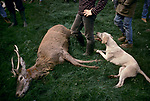 'QUANTOCK STAG HOUNDS', QUANTOCK, SOUTH SOMERSET. THE END OF THE HUNT, JUST BEFORE THE STAG IS GUTTED, 1997