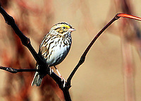 Courtesy photo/PHYLLIS KANE<br /> A savannah sparrow roosts at the Charlie Craig State Fish Hatchery in Centerton. Phyllis Kane of Fayetteville took the picture on Nov. 6.