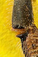 Honigbiene, Hinterbein, Sammelbein zum Sammeln von Pollen, Kamm kämmt die Bürsten aus. Der im Kamm hängende Pollen wird durch eine Bewegung des Gelenks zwischen Schiene und Fuß mit Hilfe des Pollenschiebers nach oben in das außen liegende Körbchen bewegt, Honig-Biene, Biene, Apis mellifera, Apis mellifica, honey bee, hive bee