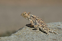 437800010 a wild southern desert horned lizard phrynosoma platyrhinos calidiarum suns on a large rock in mono county california