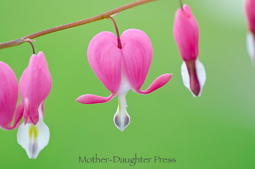 Bleeding heart flowers close up, Dicentra curcullaria in spring, Maine, USA