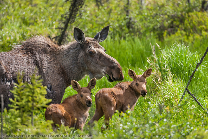 Cow moose and twin calves feed on spring grasses, Arctic, Alaska.