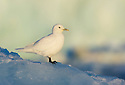 Ivory Gull (Pagophila eburnea) in Svalbard