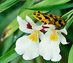 Golden frog on orchid, Panama
