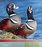 Wildfowl Calendar, May 2012