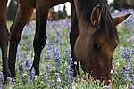 A Wild Horse grazes on wildflowers in a field in the Pryor Mountains, Montana.