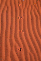 May 27, 2008 - Finke, Northern Territory, Australia - Animal tracks in the red sand dunes on the outskirts of the Aboriginal community of Finke. (Credit Image: © Marianna Day Massey/ZUMA Press)
