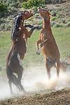 Wild horses spar near a watering hole in northwestern Colorado. Sand Wash Wild Horse Management BLM area.