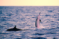 long-snouted spinner dolphins at sunset, Stenella longirostris, Kealakekua Bay, Big Island, Hawaii, USA, Pacific Ocean