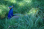 Male peacock nestled in tall green grass West Coast Game park Bandon Oregon State USA..