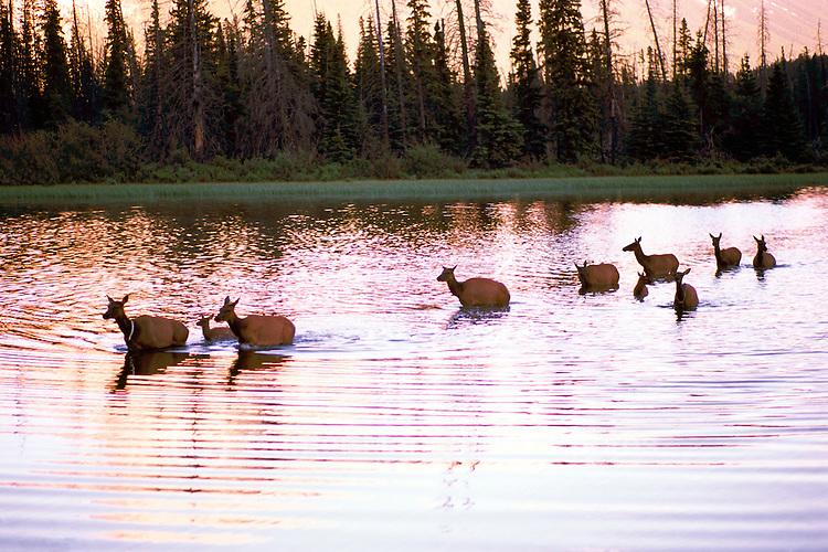 Banff National Park, Canadian Rockies, AB, Alberta, Canada - Elk Cows and Calves, Wapiti (Cervus canadensis) Herd crossing Vermilion Lake at Sunset