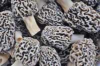 Freshly picked White Morel (Morchella deliciosa).