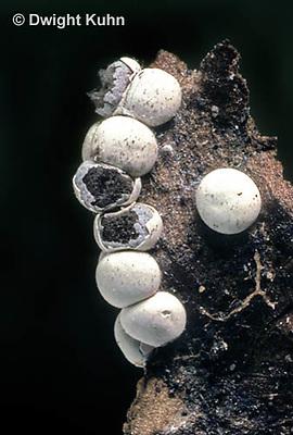 SD16-004x  Slime Mold - sporangia showing spore mass - Diderma globosum - shot @ 5x