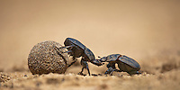 Giant Flattened Dung Beetles fighting for a dung ball