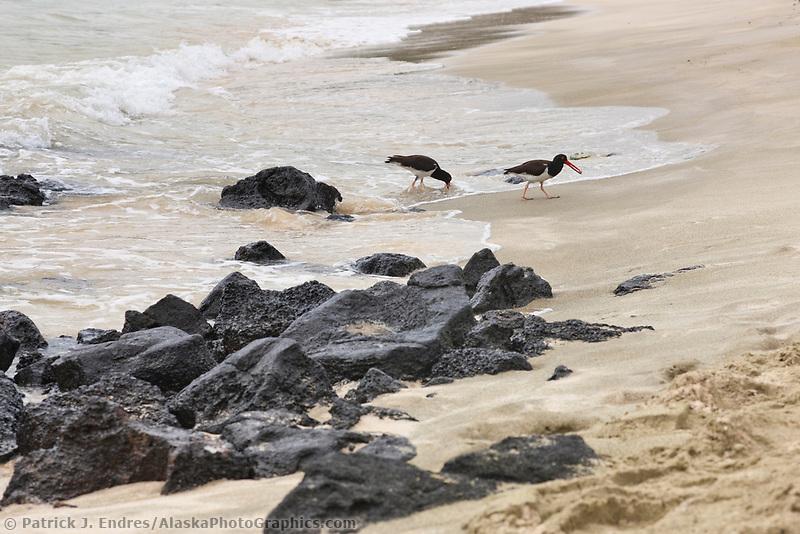 American oystercatchers, Punto Cormoran, Floriana Island, Galapagos