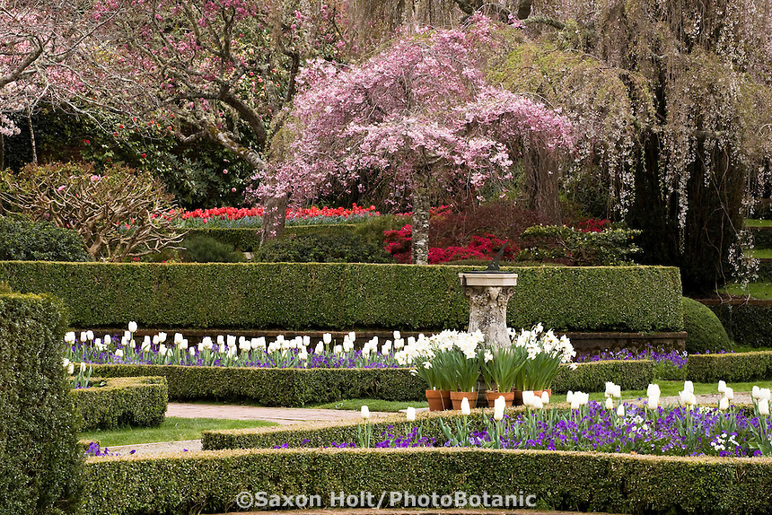 Flowering Cherry Tree (Prunus) in spring formal garden, The Sundial Garden - Filoli, California, white tulip 'Clearwater'
