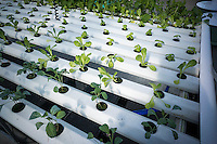 Hydroponic farming is seen on the rooftop Greenhouse Project classroom on the roof of PS84 in Brooklyn in New York on Saturday, October 15, 2016. The greenhouse collects teaches the students about sustainable food production and environmental education. (© Richard B. Levine)
