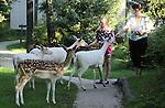 Foto: VidiPhoto<br /> <br /> AMERICA &ndash; En dan staat er plotseling een roedel witte damherten voor je neus. Nog steeds krijgt de receptie van Het Meerdal (Center Parcs) in America iedere week de melding dat de geiten van de kinderboerderij zijn ontsnapt. Het gaat hier echter om een twaalftal albinoherten, die zeven jaar geleden naar het Limburgse bungalowpark zijn gekomen. De dieren -inmiddels aangevuld met een normaal damhert- trekken iedere ochtend en avond langs de vakantiehuisjes op zoek naar voedsel en allerlei lekkers. De meeste bezoekers zien de damherten als een boeiende attractie, waarvoor zelfs speciale voedernootjes worden gekocht. Het Meerdal heeft de zeldzame albinodieren in november 2007 opgevangen, nadat ze diverse dierentuinen moesten verlaten om inteelt te voorkomen. In de bosrijke omgeving voelen de dieren zich ondanks de drukte prima thuis.