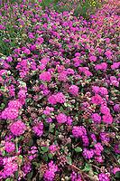 196850024 wild desert sand verbena anbronia villosa in bloom in anza borrego desert state park in southern california