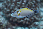 Lei Triggerfish, Sufflamen bursa, (Bloch & Schneider, 1801), Maui Hawaii