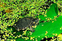1R13-030z  Painted Turtle - young turtle coming out of duckweed pond - Chrysemys picta