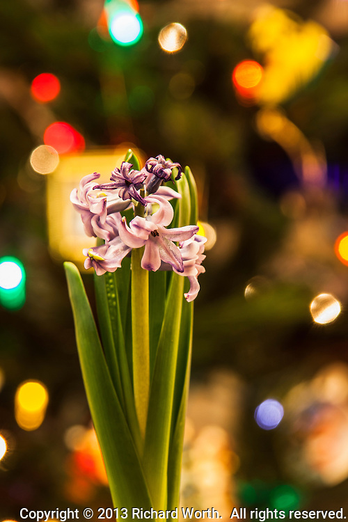 Purple flowers bloom with colorful Christmas lights for a  backgroud.