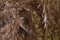Zwergmaus, Zwerg-Maus, Micromys minutus, klettert im Schilf, Harvest Mouse, Halmkletterer