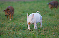 Piglets at Sheepdrove Organic Farm, Lambourn, England  where Camborough sows are kept with Duroc boars.