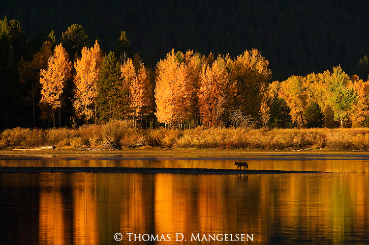 A lone coyote travels a sand bar, the colors of autumn reflecting in the Snake River at Oxbow Bend in Grand Teton National Park, Wyoming.