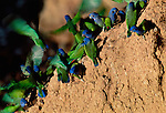 A cluster of blue-headed parrots on a cliff face in the Tambopata-Candamo National Reserve, Peru.