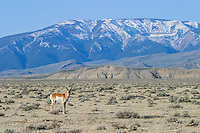Pronghorn buck along the Absaroka Front in Wyoming
